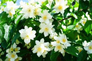 Jasminblüten