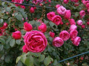 üppiges Rosenbeet mit hellroten Rosen