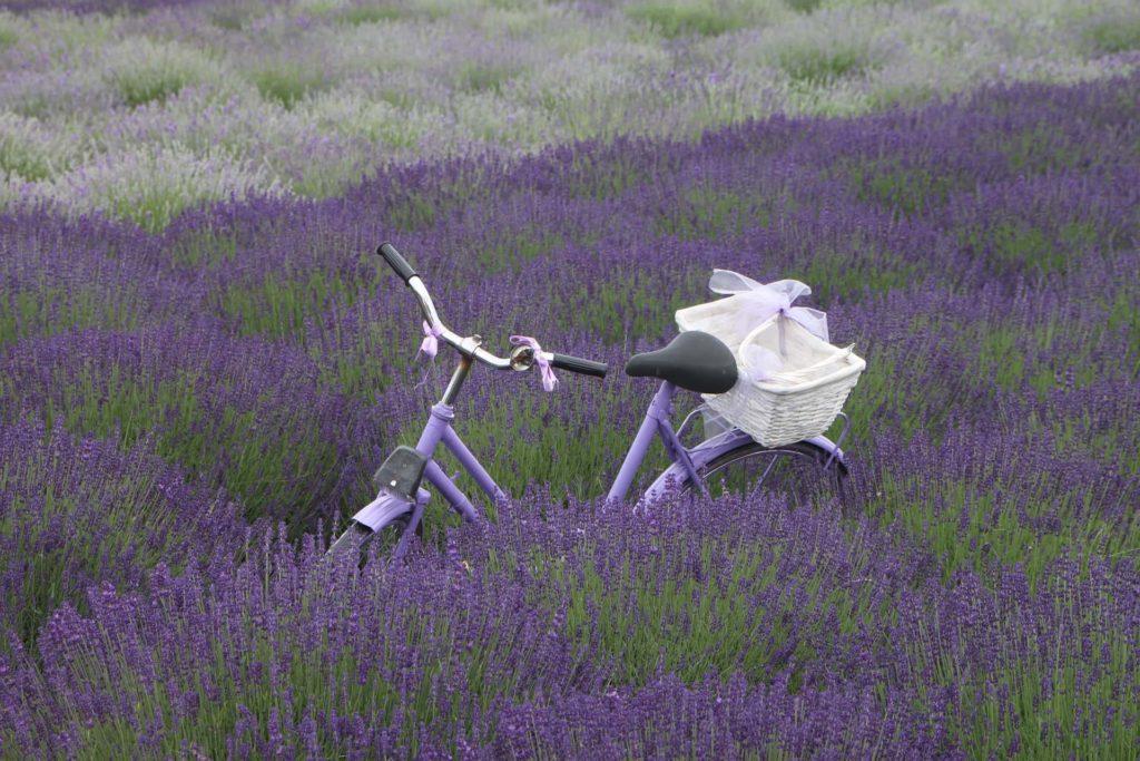 Fahrrad in Lavendelfeld