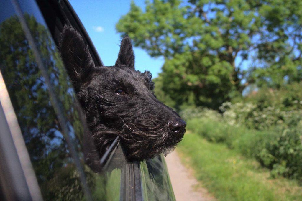 Terrier am Autofenster
