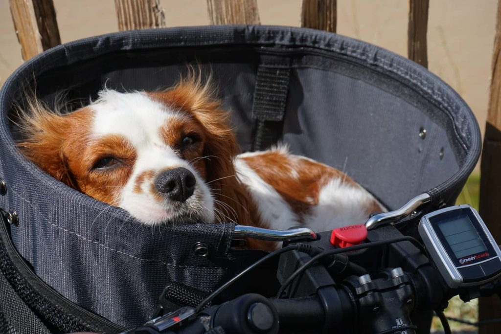 Hund im Fahrradkörbchen